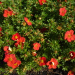 Potentilla fruticosa 'Red Aces'
